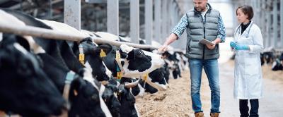 Como aumentar a produtividade em fazendas de leite?